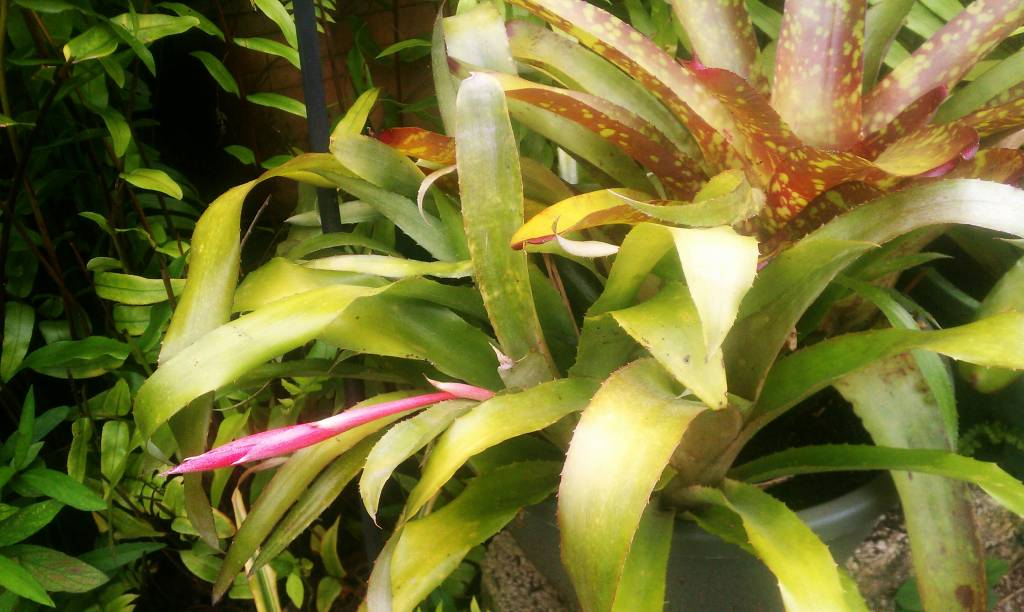 Billbergia windii  in Spike