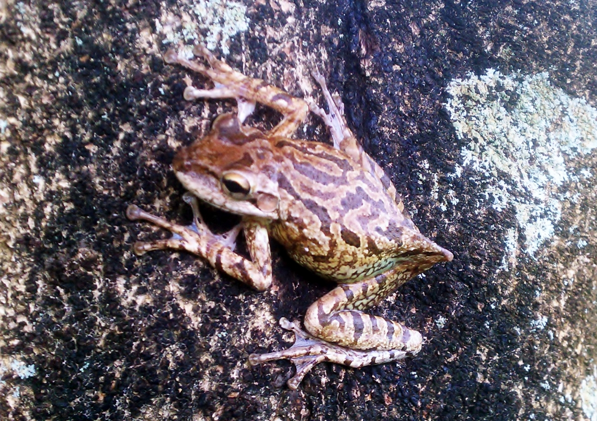 This is why they call them tree frogs!