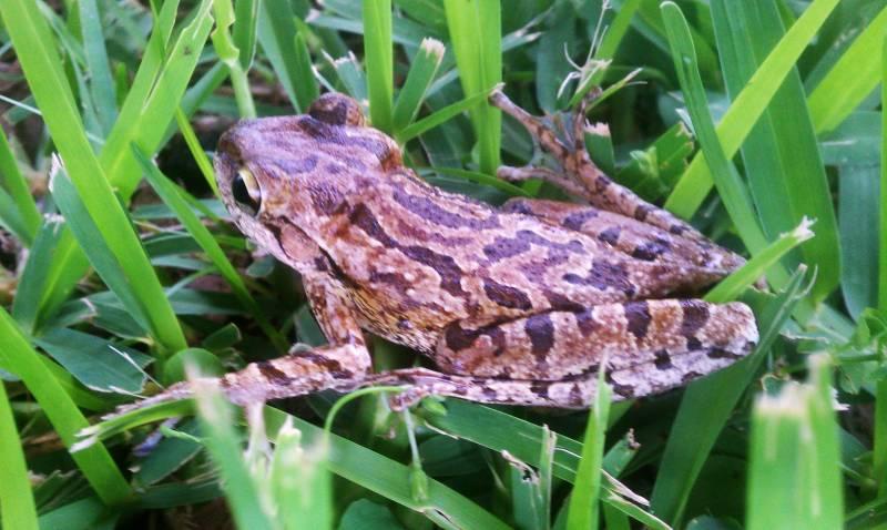 Unidentified Tree Frog, Florida