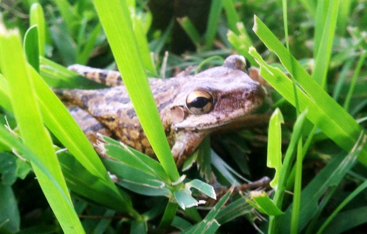 Tree Frog, Florida