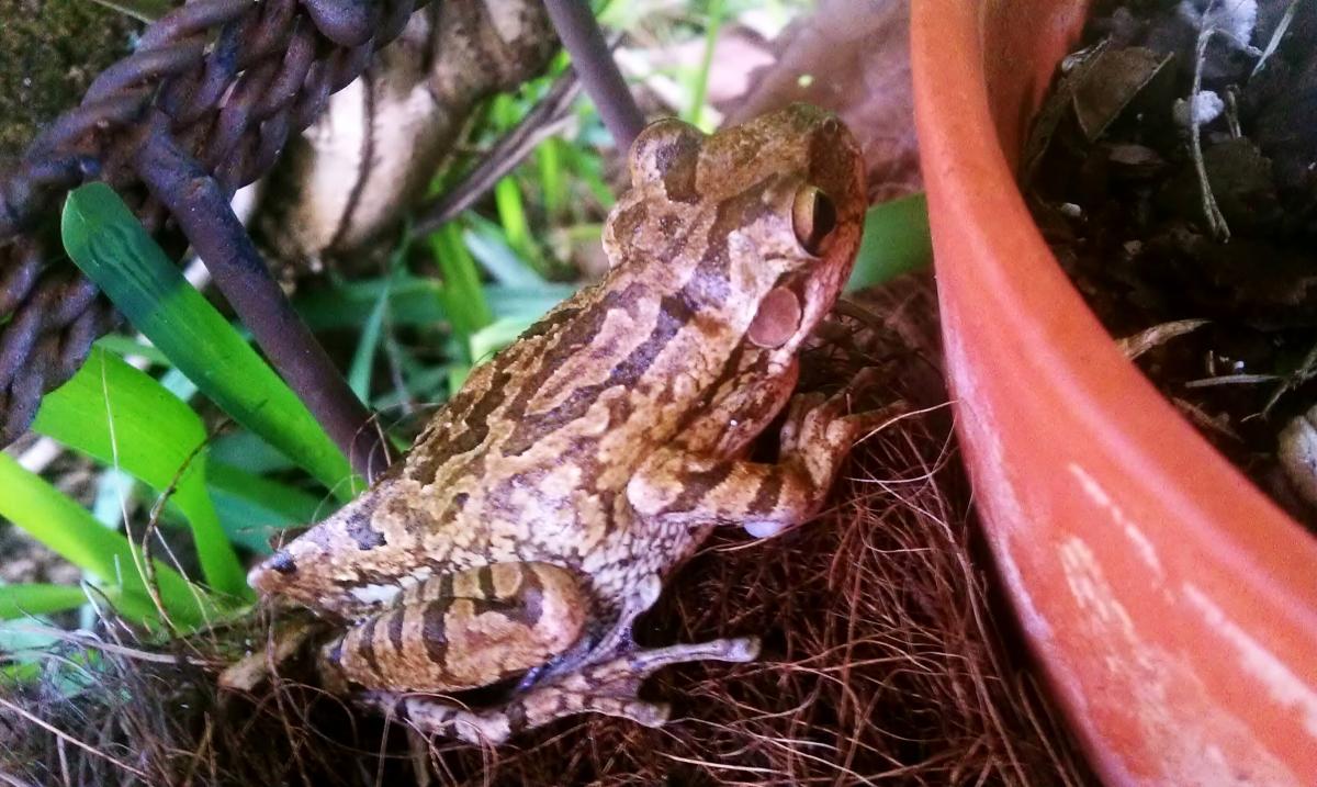 Florida Tree Frog near orchid pots