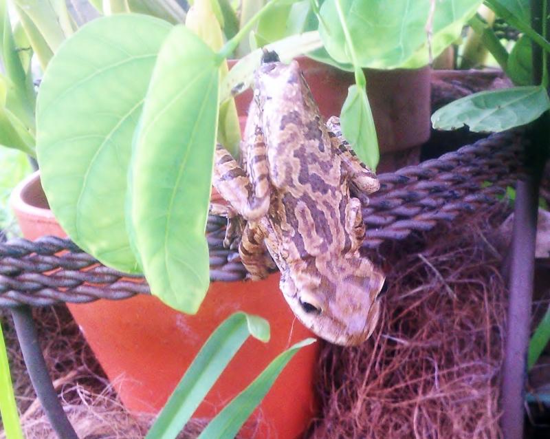 Tree Frog, ready to jump!