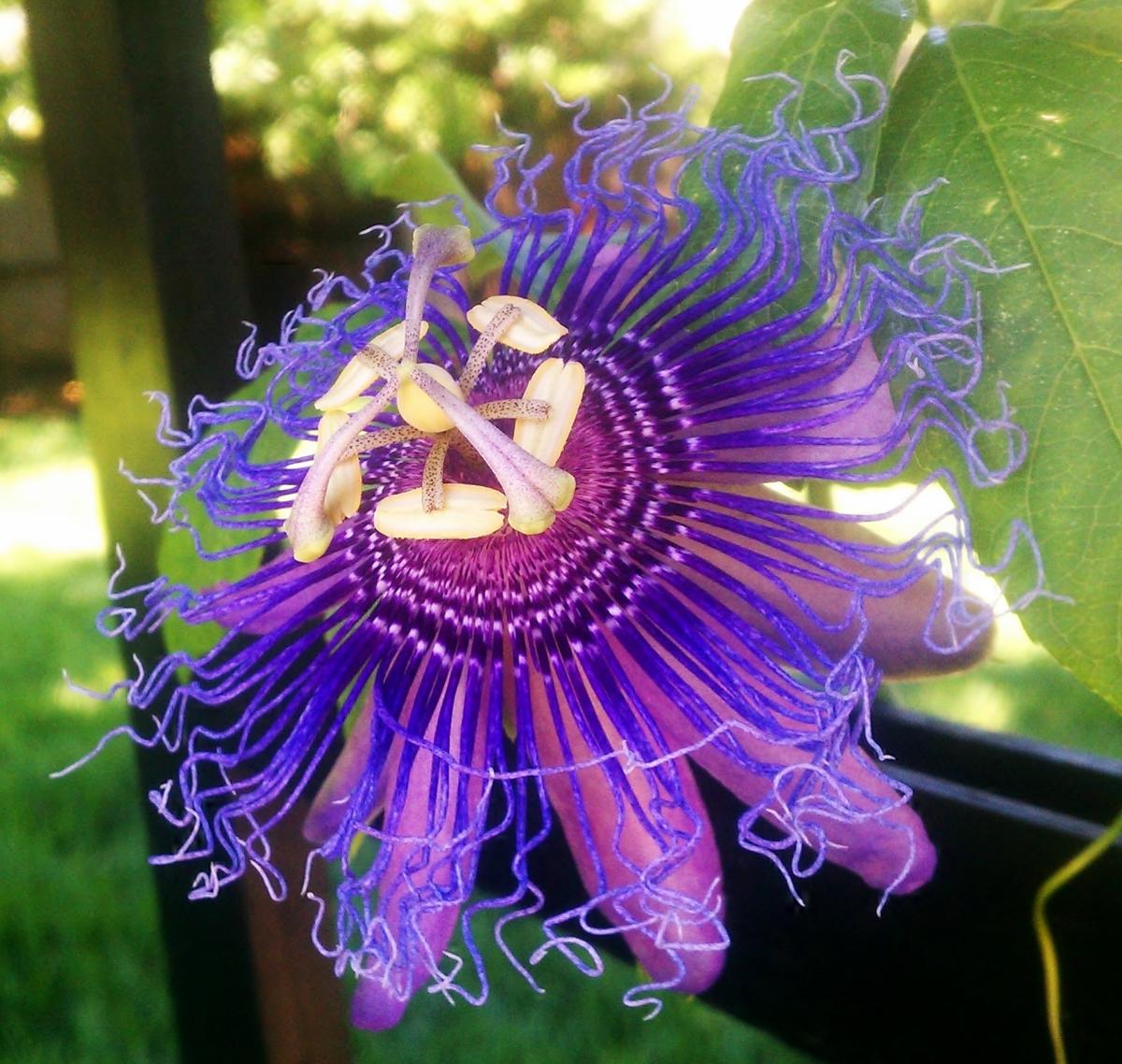 Passiflora Incense, June 12, 2012
