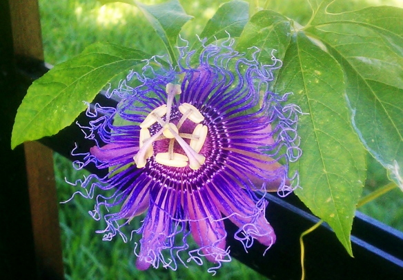 Passiflora Incense 5, June 12, 2012
