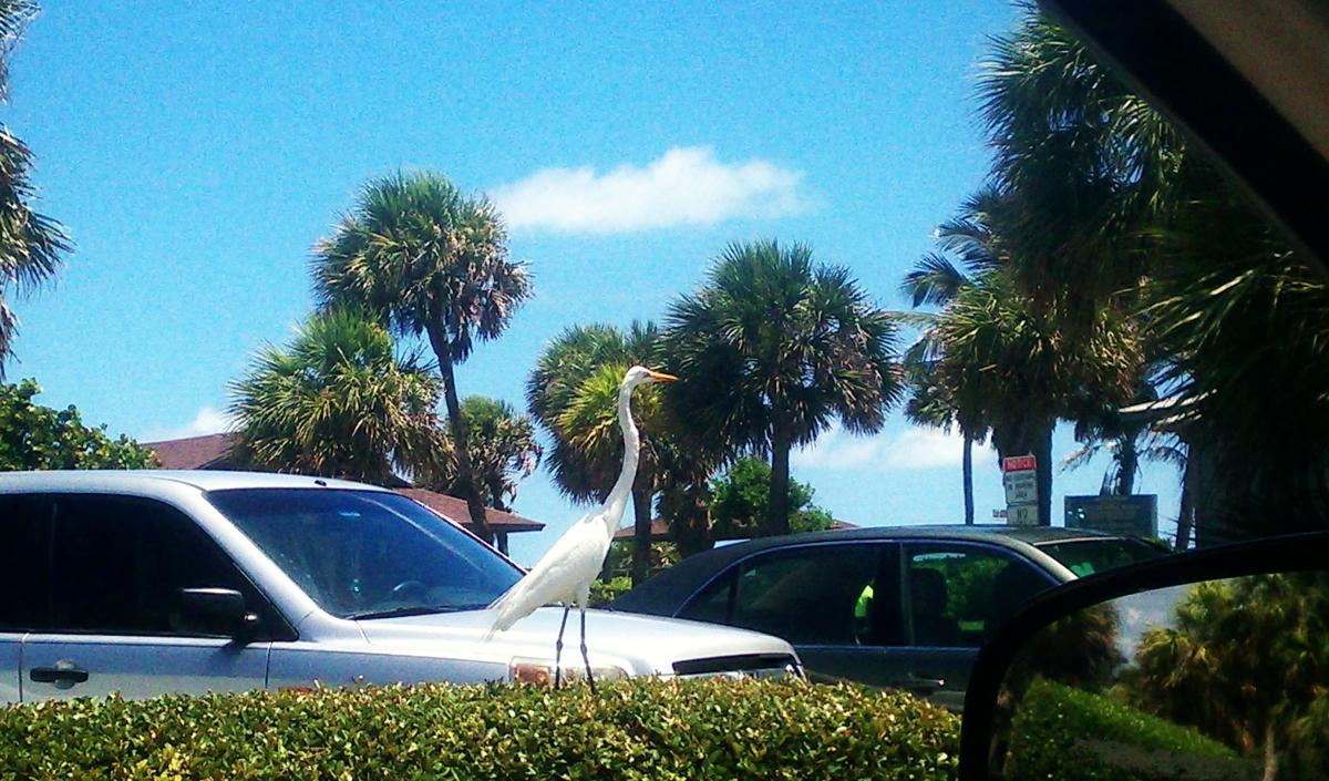 Great Egret, at Jaycee Beach in Vero Beach