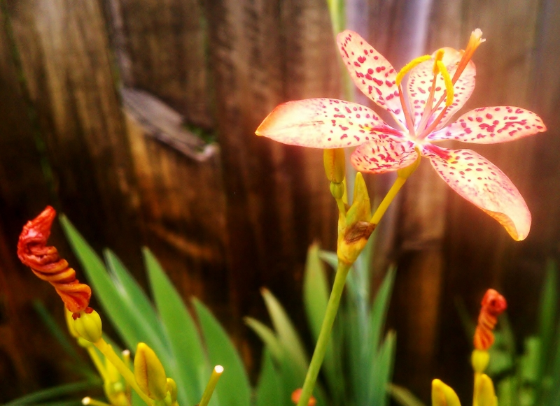 Iris Domestica with spent blooms