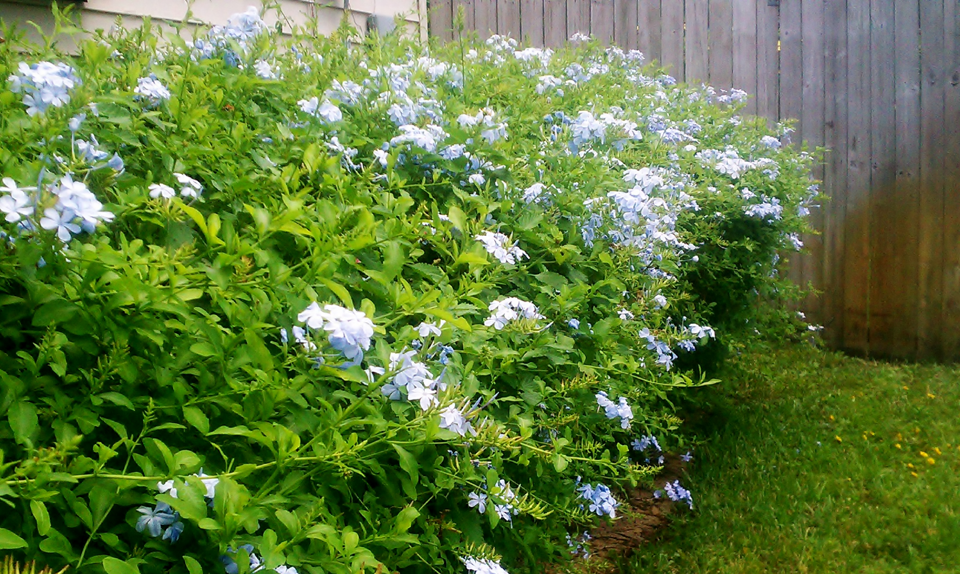 Plumbago Hedge Small House Big Garden