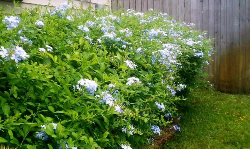 Plumbago hedge