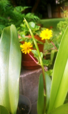 Brassia Maculata spike July 16, 2012