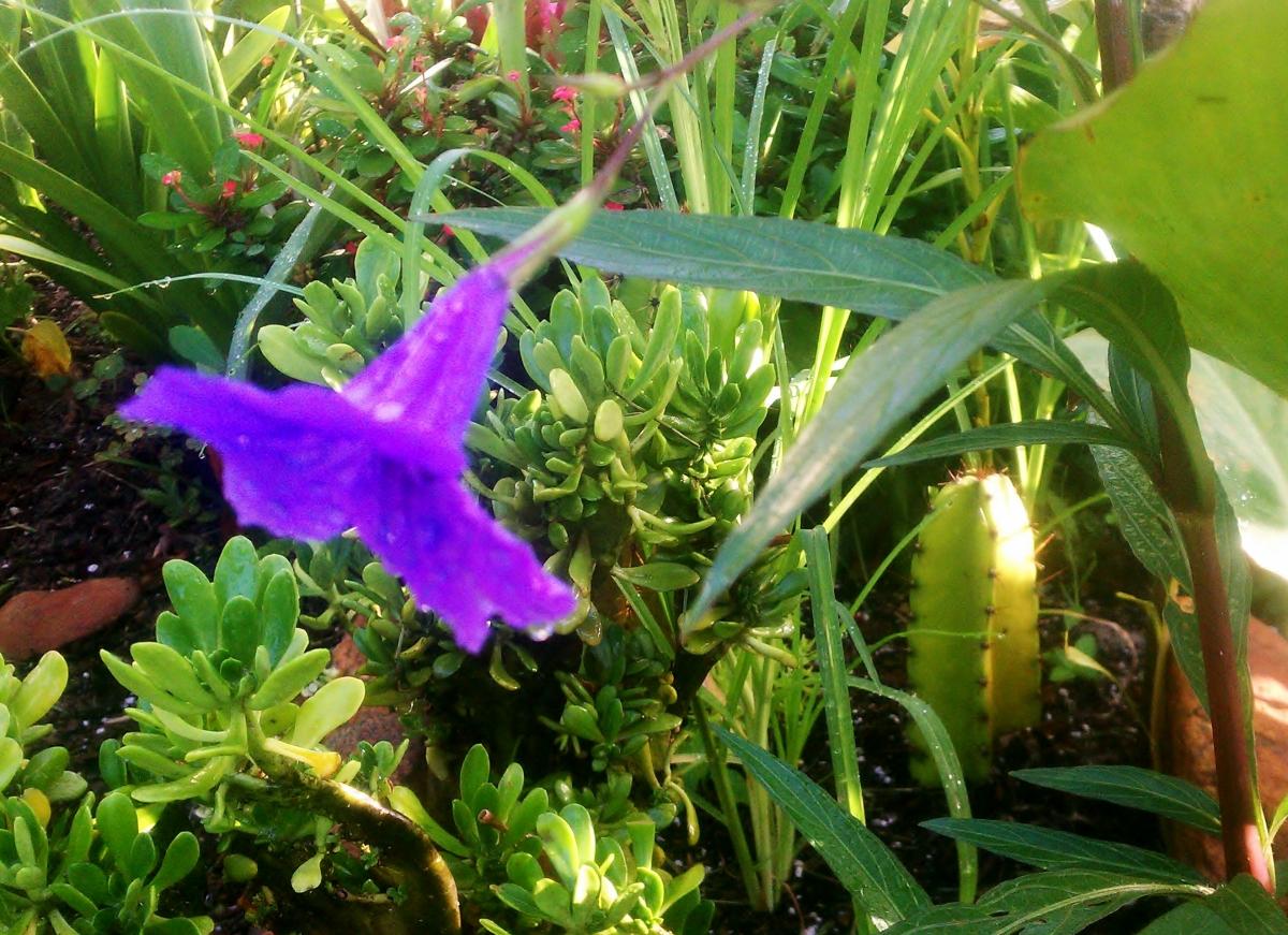 Mexican Petunia aka Ruellia Tweediana
