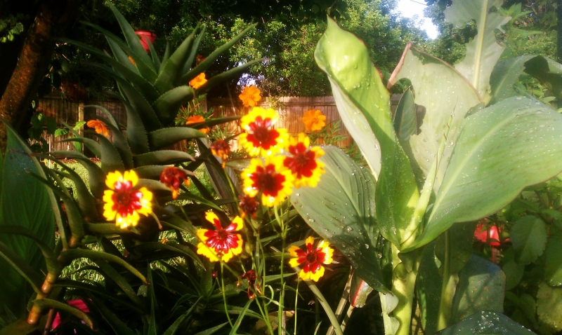 Plains Coreopsis July 23, 2012