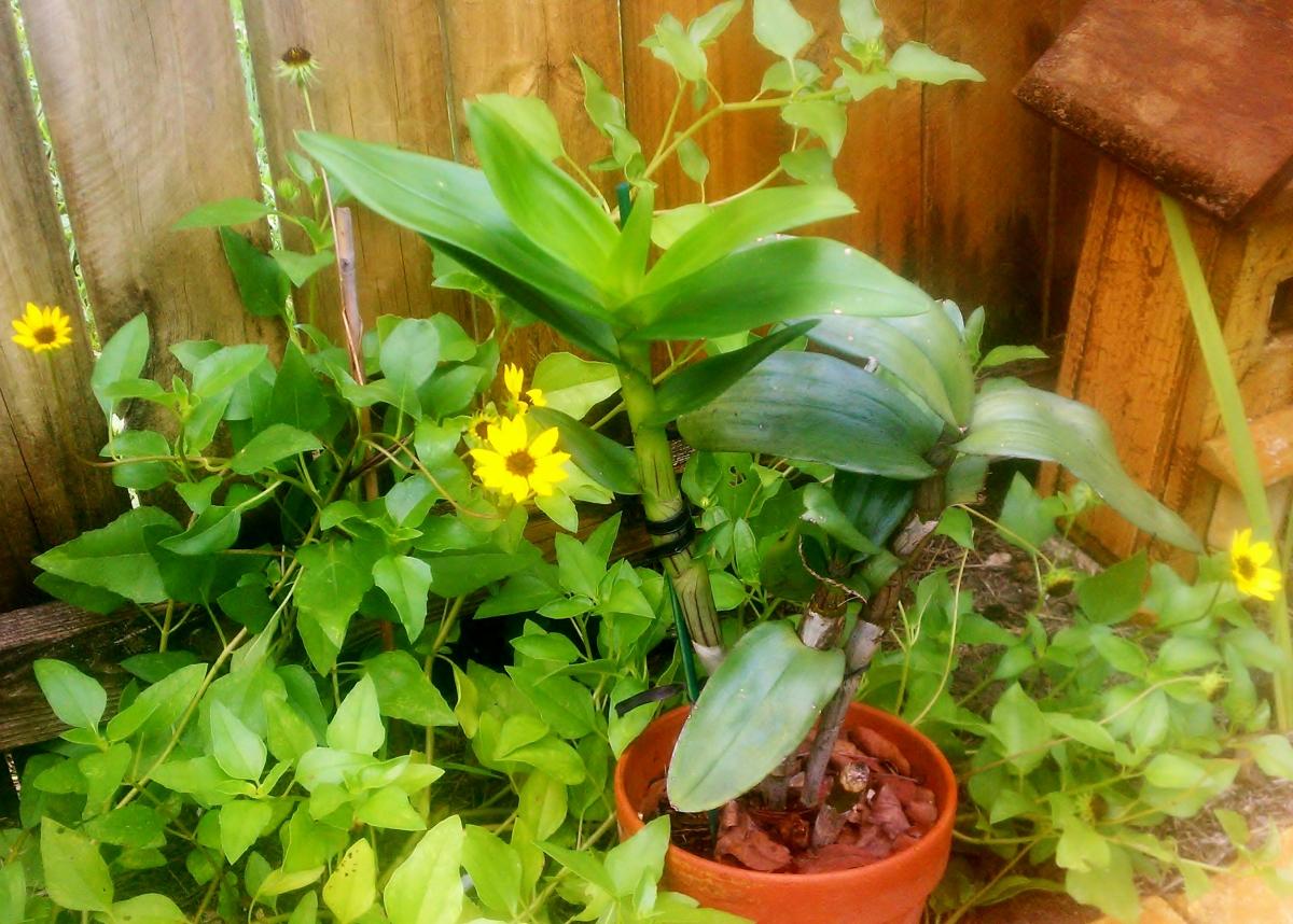 Beach sunflower with Dendrobium