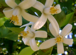 Honeybell Orange Blossoms