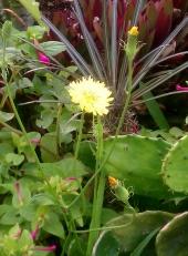 Centaurea with Mirabilis in Background