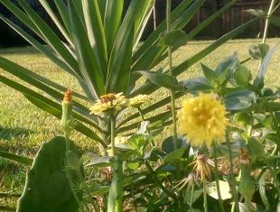 Centaurea with Zinnia (left)