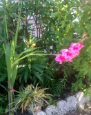 Pink Gladiolus (Full view)