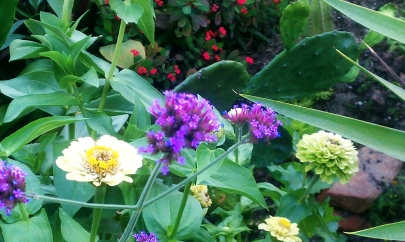 Zinnia with Verbena