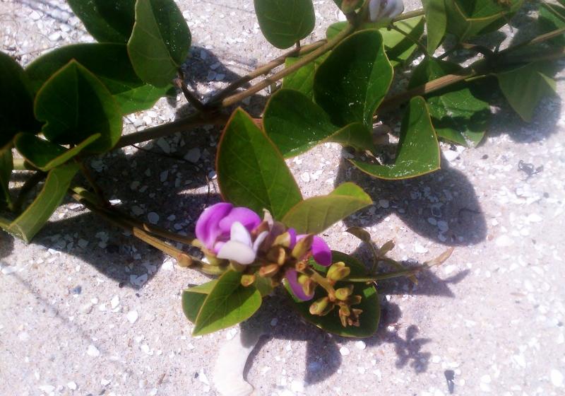 Bay bean aka Canavalia Rosea