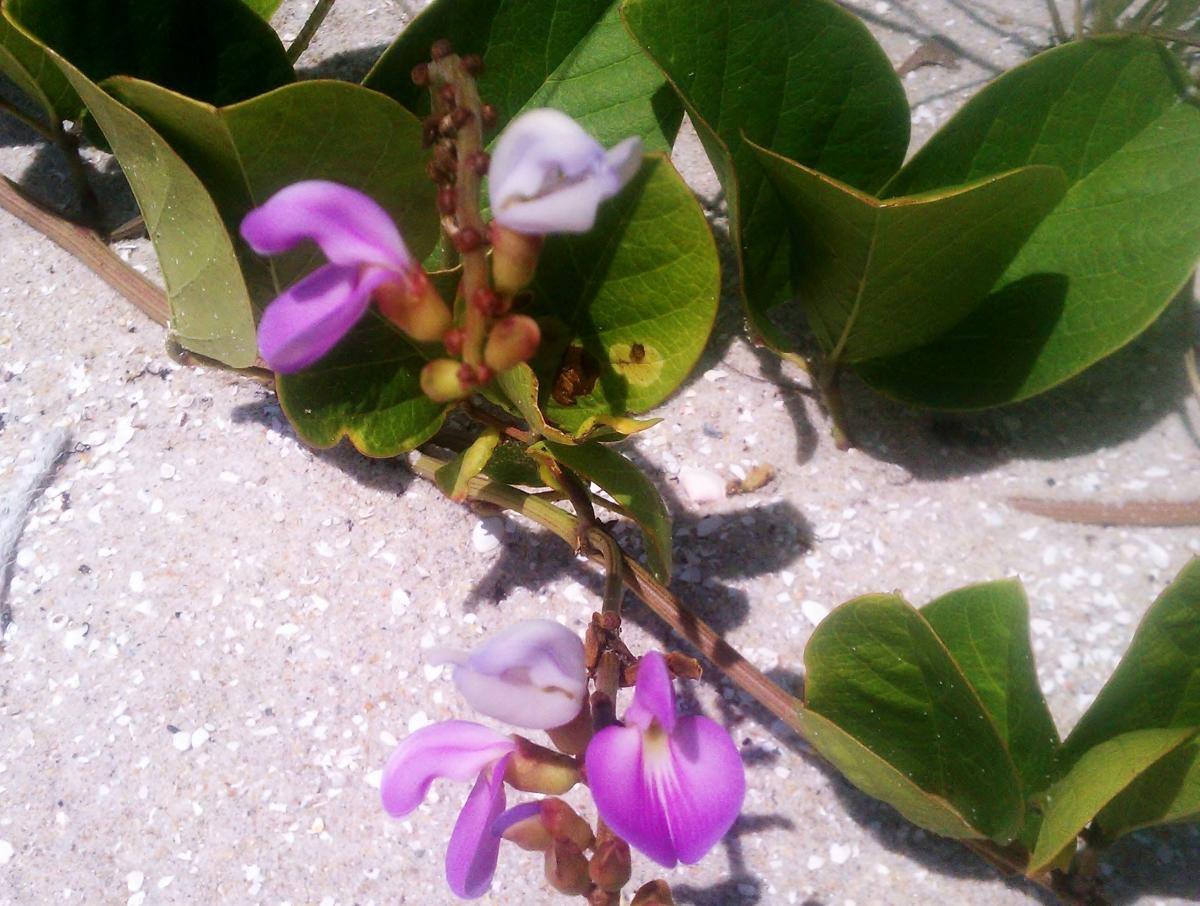 "The upside down ""bean"" flower of Canavalia Rosea"
