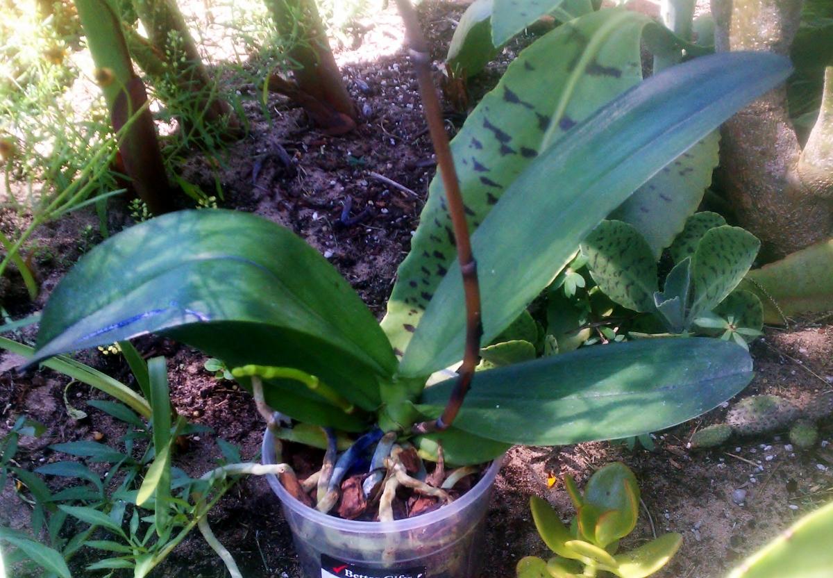 Phalaenopsis Lila Mystique