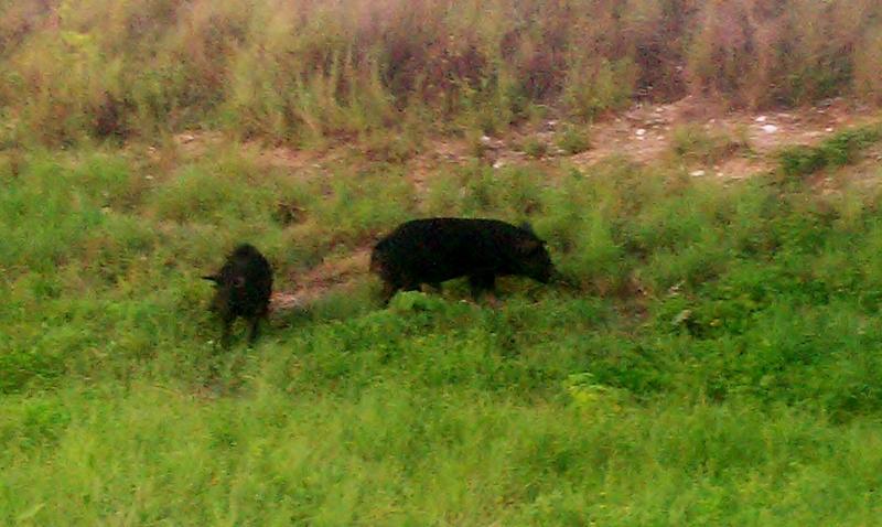 Wild Boars, Merritt Island Refuge