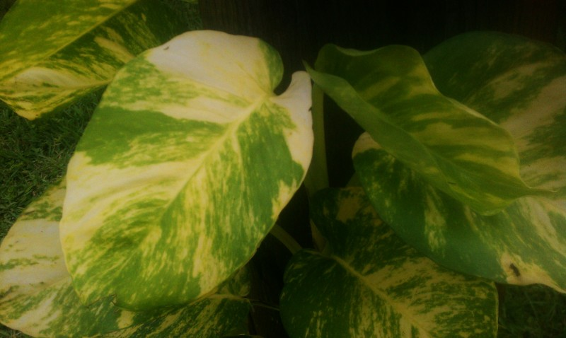 Uppermost Leaves, Golden Pothos