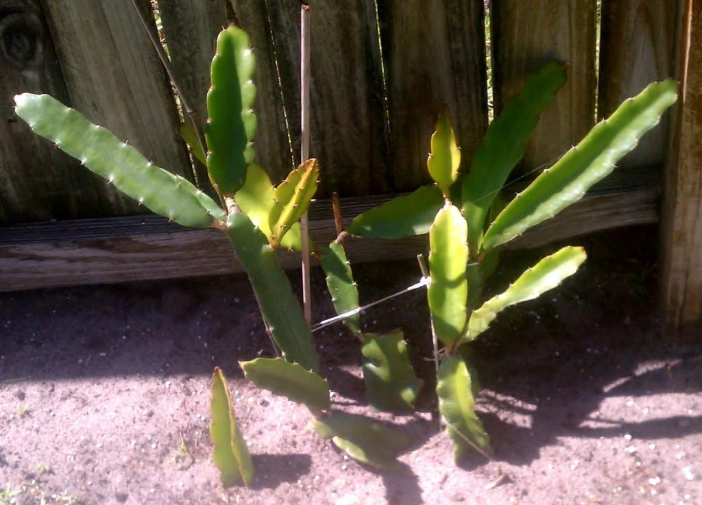 Hylocereus Undatus, March 12, 2012
