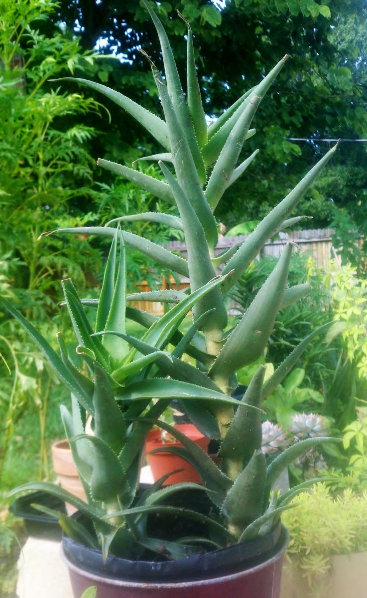 Aloe Ciliaris. Sept 2012