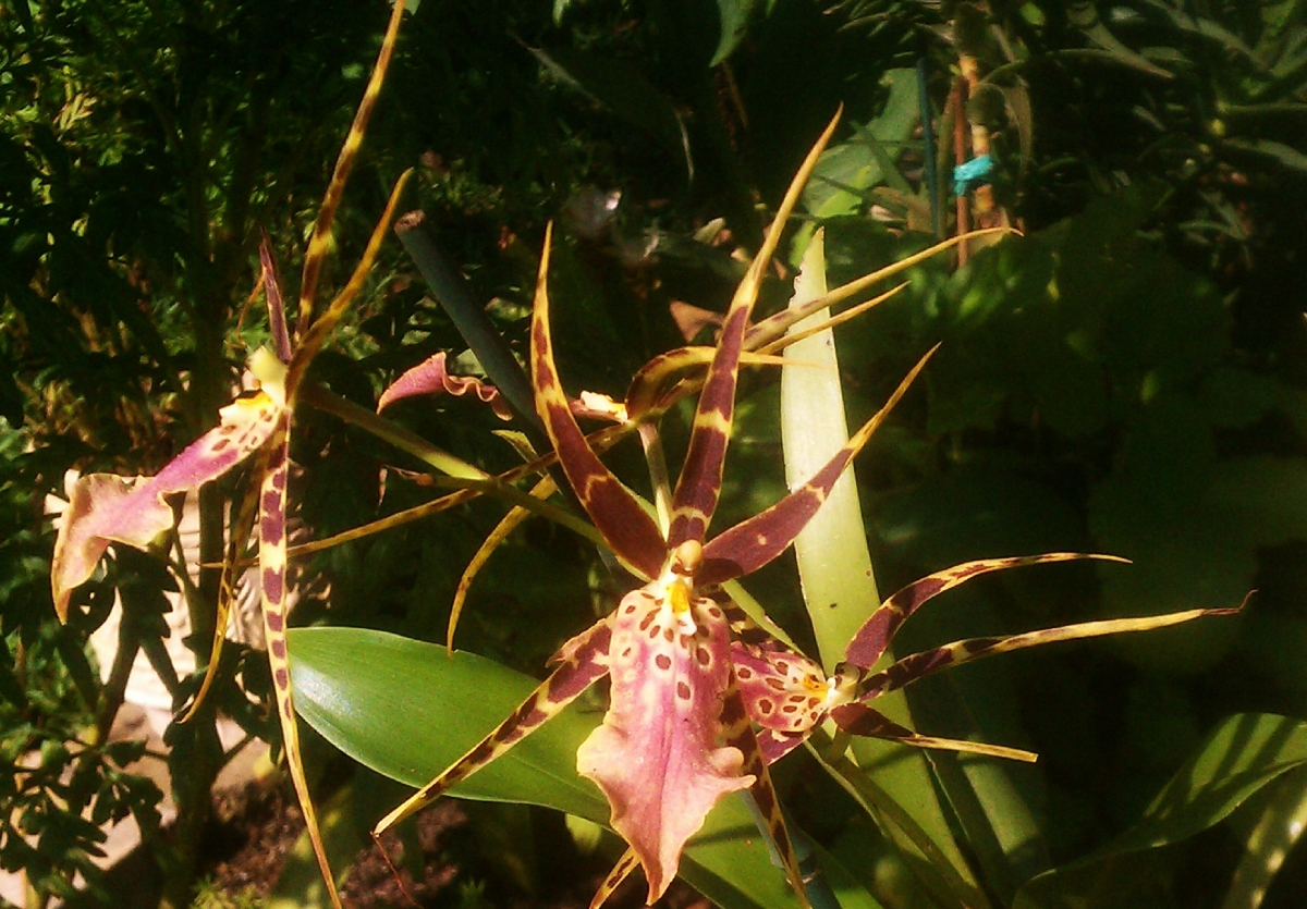 Brassia Maculata, Sept. 6, 2012