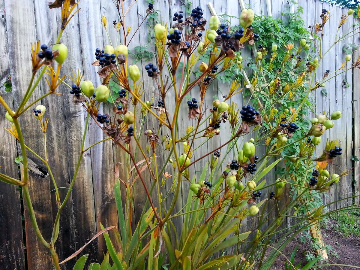 Belamcanda Chinensis, aka Blackberry Lily, October 16, 2012