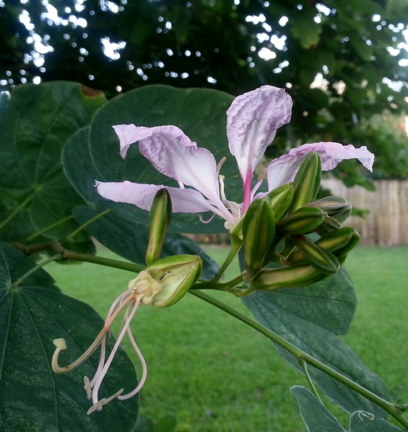 Bauhinia Flower Bud Cluster, October 22, 2012