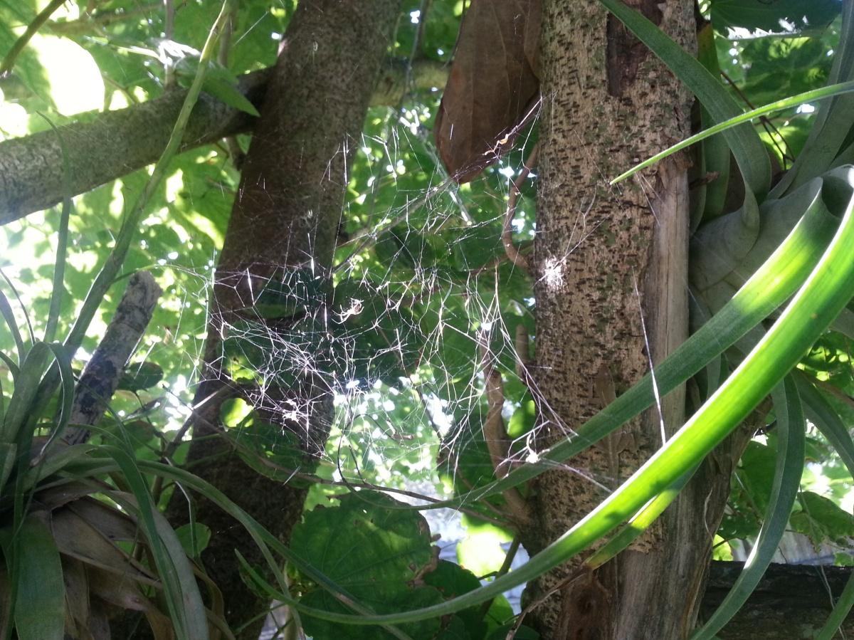 Spider Web between T.utriculatas in the bauhinia, Oct. 24, 2012