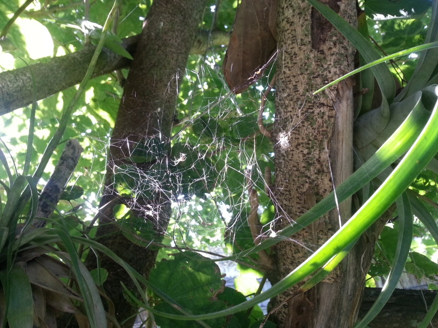 Spider Web between T.utriculatas in the bauhinia, Oct. 24, 2012
