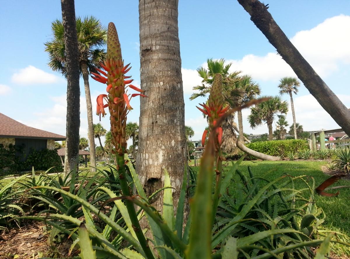Blooming Aloe, Jaycee Beach, Vero Beach, FL. 10/28/12