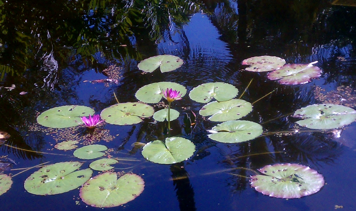 McKee Garden Waterlilies, March 28, 2012
