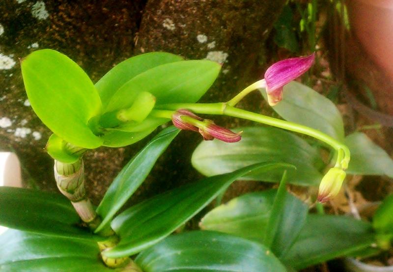 Dendrobrium Orchid