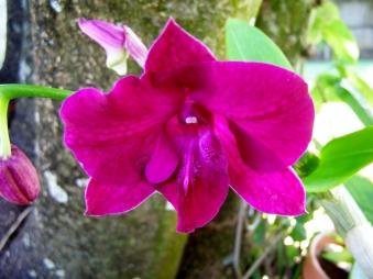 Dendrobium Kingianum Midnight Velvet