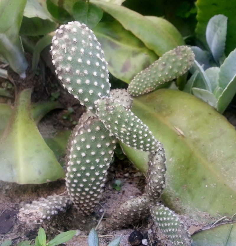 Opuntia Microdasys came from Naxos, Greece!