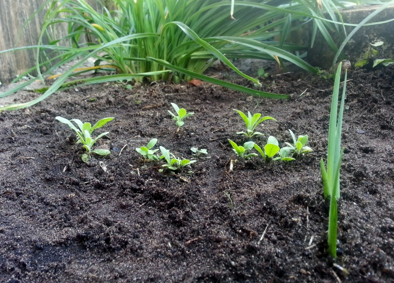 Cupid's Dark Seedlings planted nov 1 2012