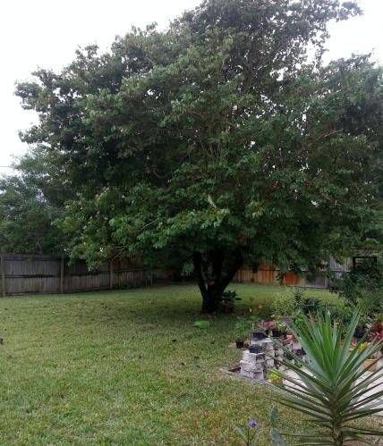Bauhinia as seen from Ranchero garden. 11/19/12