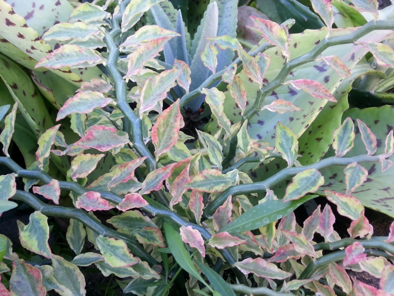 Pedilanthus Tithymaloides Variegatus (zigzgag plant) 12/02/12