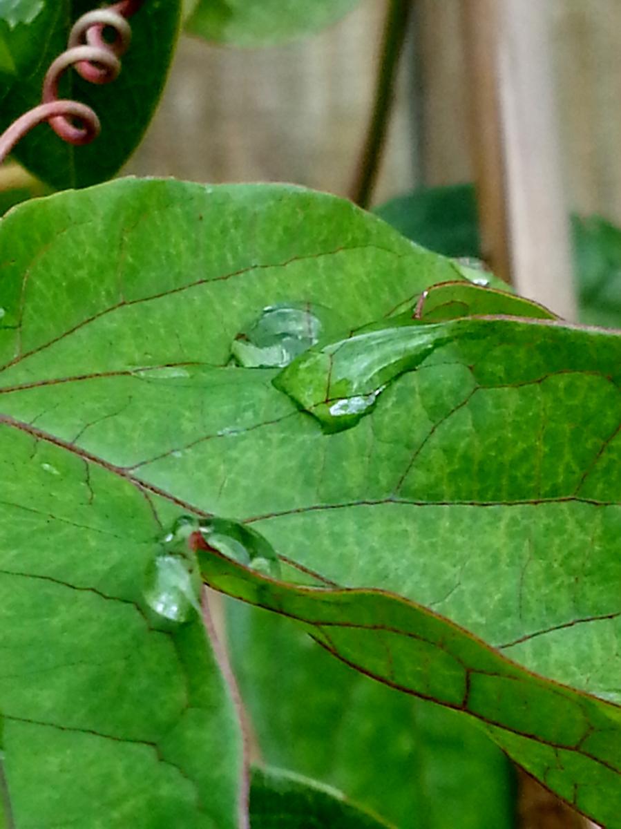 Passiflora Belotti foliage