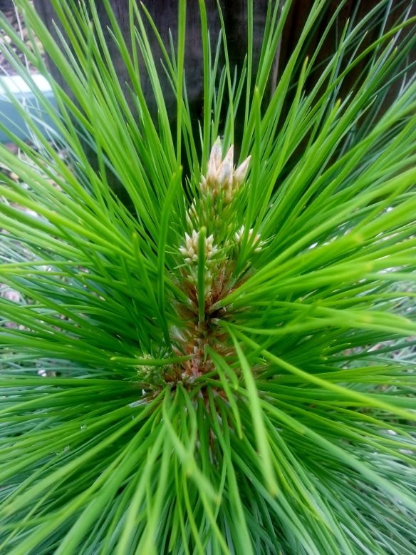 slash pine seedling 12/11/12