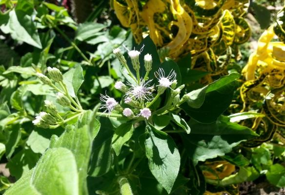 Mystery plant, Ranchero, 12/21/12