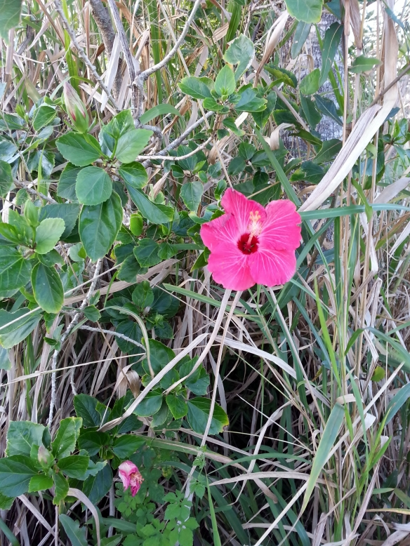 Pink Hibiscus, 1/9/13
