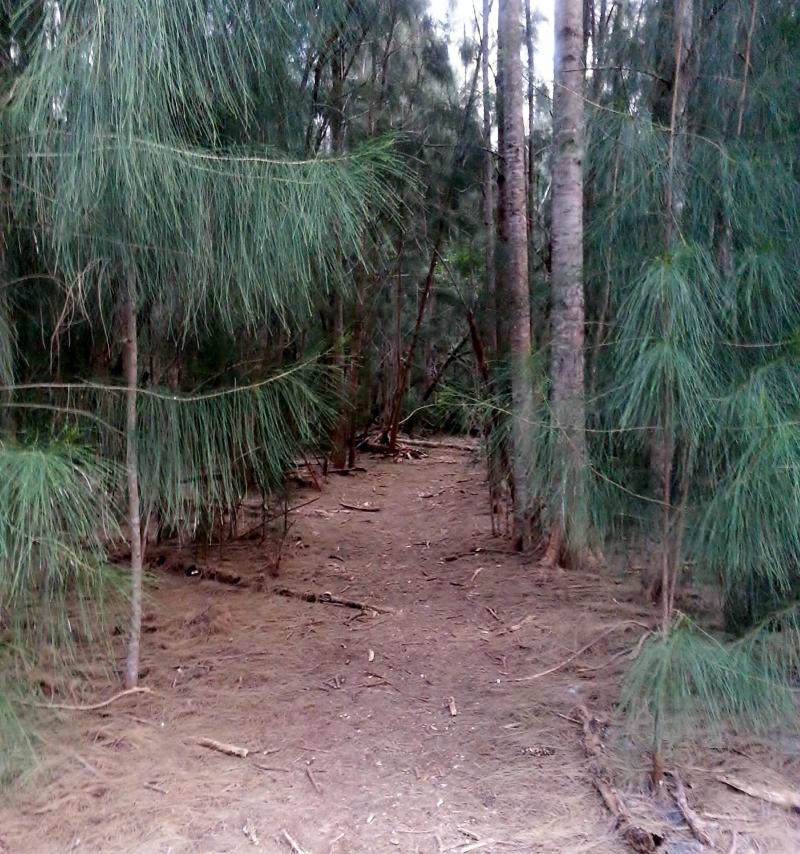 Austalian Pines, Lagoon Greenway, January 2013