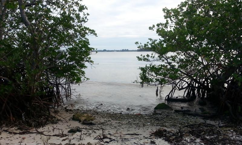 Rhizophora mangle, (red mangroves) Lagoon Greenway, January 2013