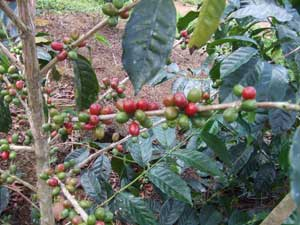 geisha-coffee-plants