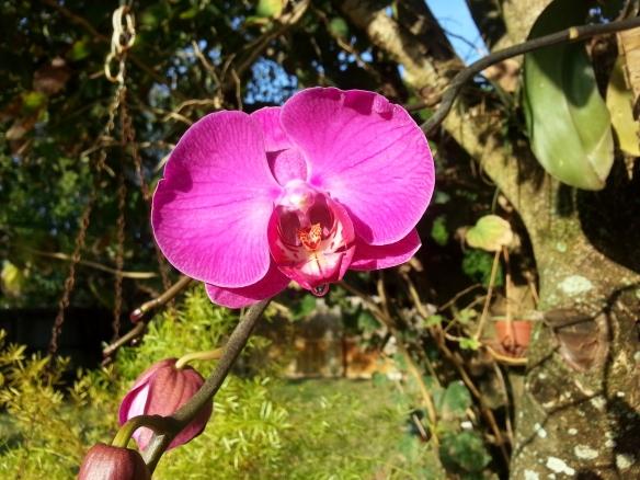 Purple Phalaenopsis, 3/11/13