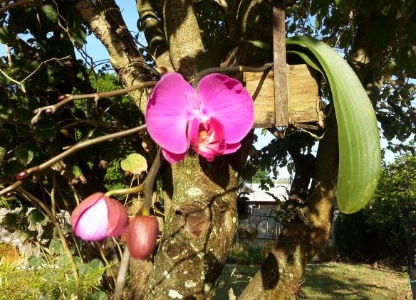 Phalaneopsis w/ 3 bloom spikes, 3/11/13